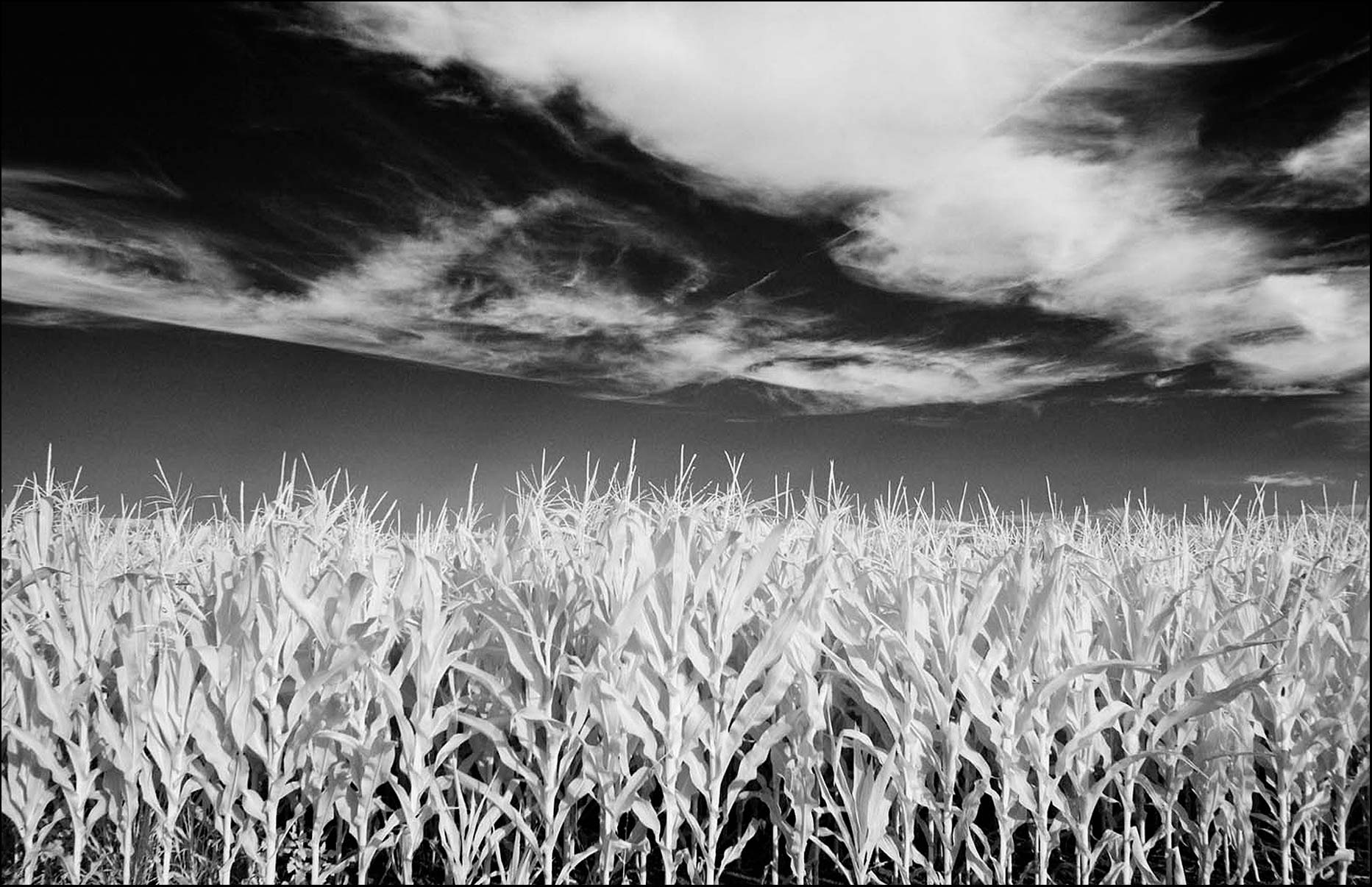 Black and white infrared image of a Cornfield in Ohio