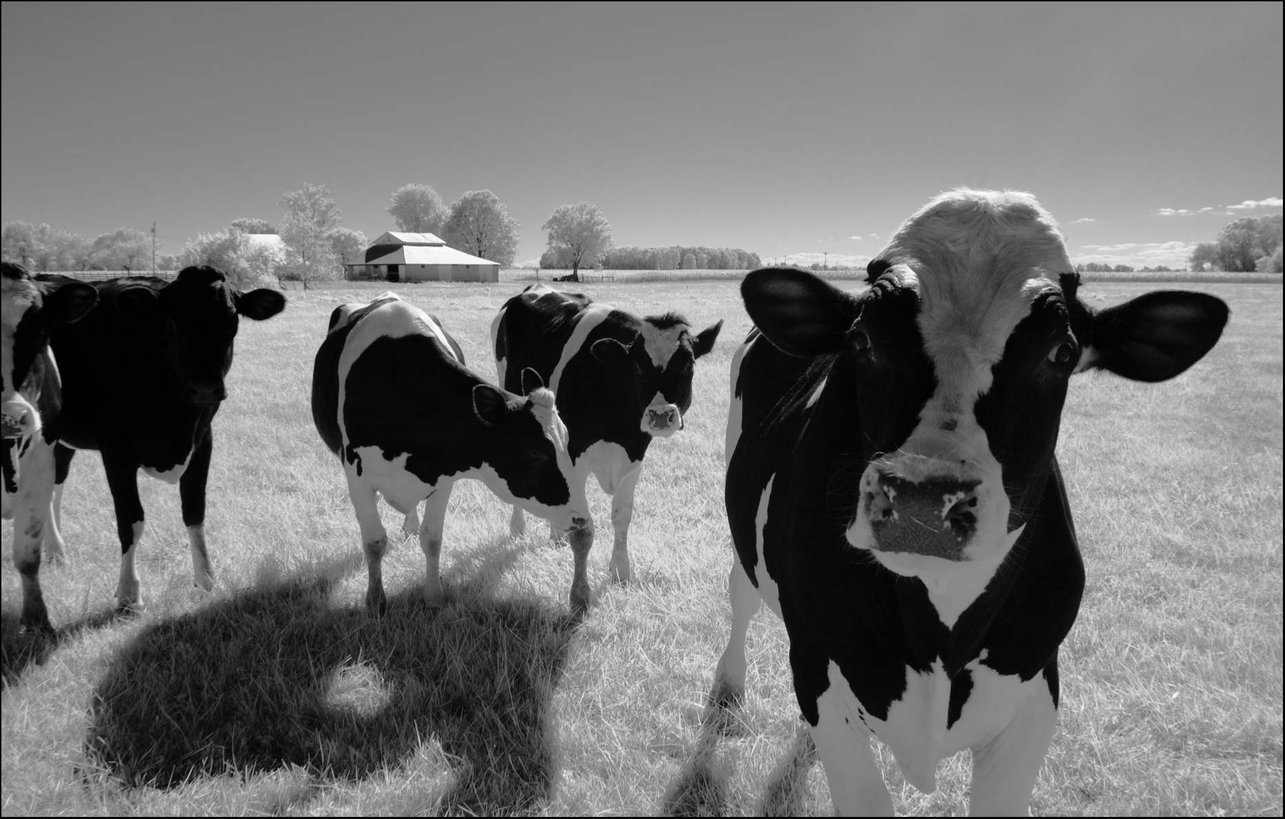 Holstein cows in Black and white infrared